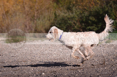 curly coated shaggy wet poodle cross dog running on beach