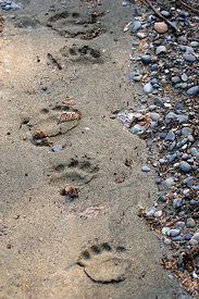 Grizzly bear (Ursus arctos horribilis) tracks in the Chugach National Forest, Alaska