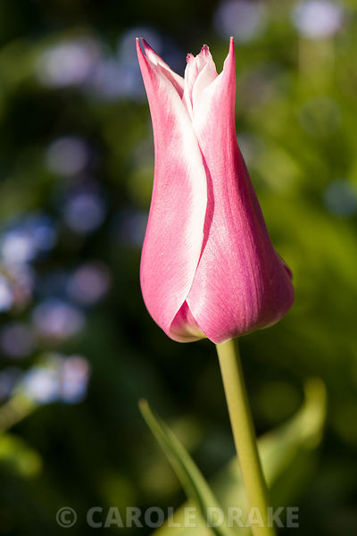 Tulip 'Ballade'. Brilley Court Farm, Whitney-on-Wye, Herefordshire, UK