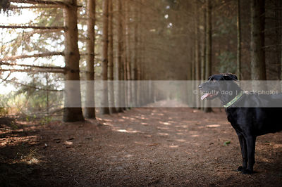 black mixed breed dog with ears back standing in pine tree forest