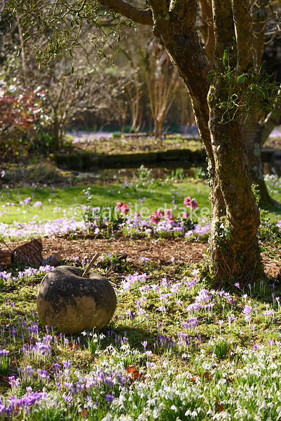 Naturalised Crocus tommasinianus around a stone apple in the wild garden at The Down House, Hampshire