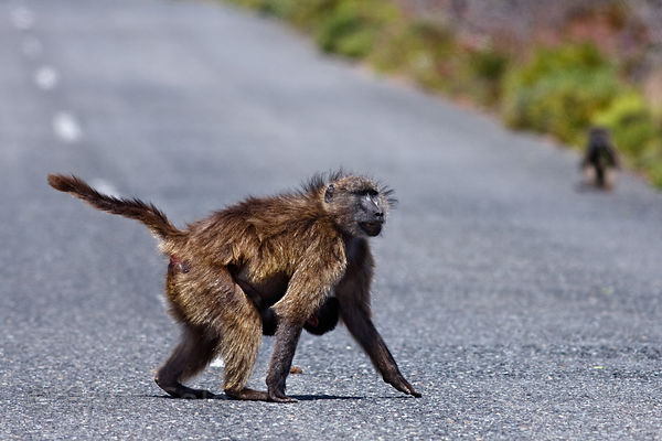 A female baboon from the Kanonkop troop carrying her baby displays fear before she is attacked by several other baboons, Smit...