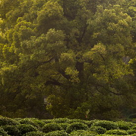 Tea-picking,