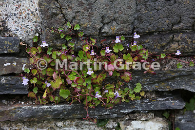 Ivy-Leaved Toadflax (Cymbalaria muralis ssp muralis) growing in the stonework of the ruined medieval Iona nunnery, Isle of Iona, Inner Hebrides, Scotland