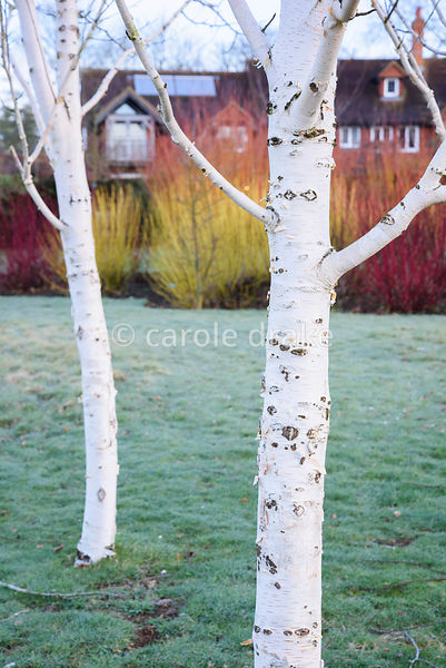 Group of white stemmed birches, Betula utilis var. jacquemontii , with a bed of colourful cornus behind at The Down House, Ha...