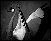 6417-The_ballet_of_the_crowned_crane_Laurent_Baheux
