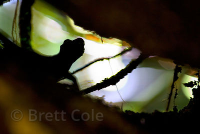 Gecko? (sp.) in its home in a small tributary to the Rio Penas Blancas, Las Nubes, Costa Rica