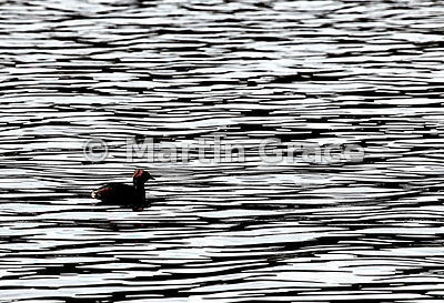 Slavonian Grebe (Podiceps auritus) on water of Loch Ruthven, Inverness-shire, United Kingdom
