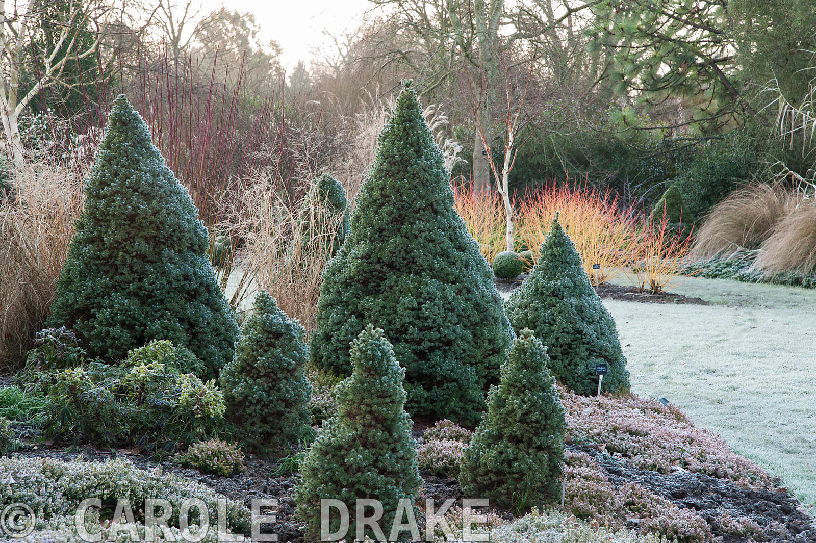 Picea glauca Alberta Blue, 'Haal', with heathers and white stemmed birch. Sir Harold Hillier Gardens, Ampfield, Romsey, Hants...