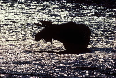 Moose, Gardner River