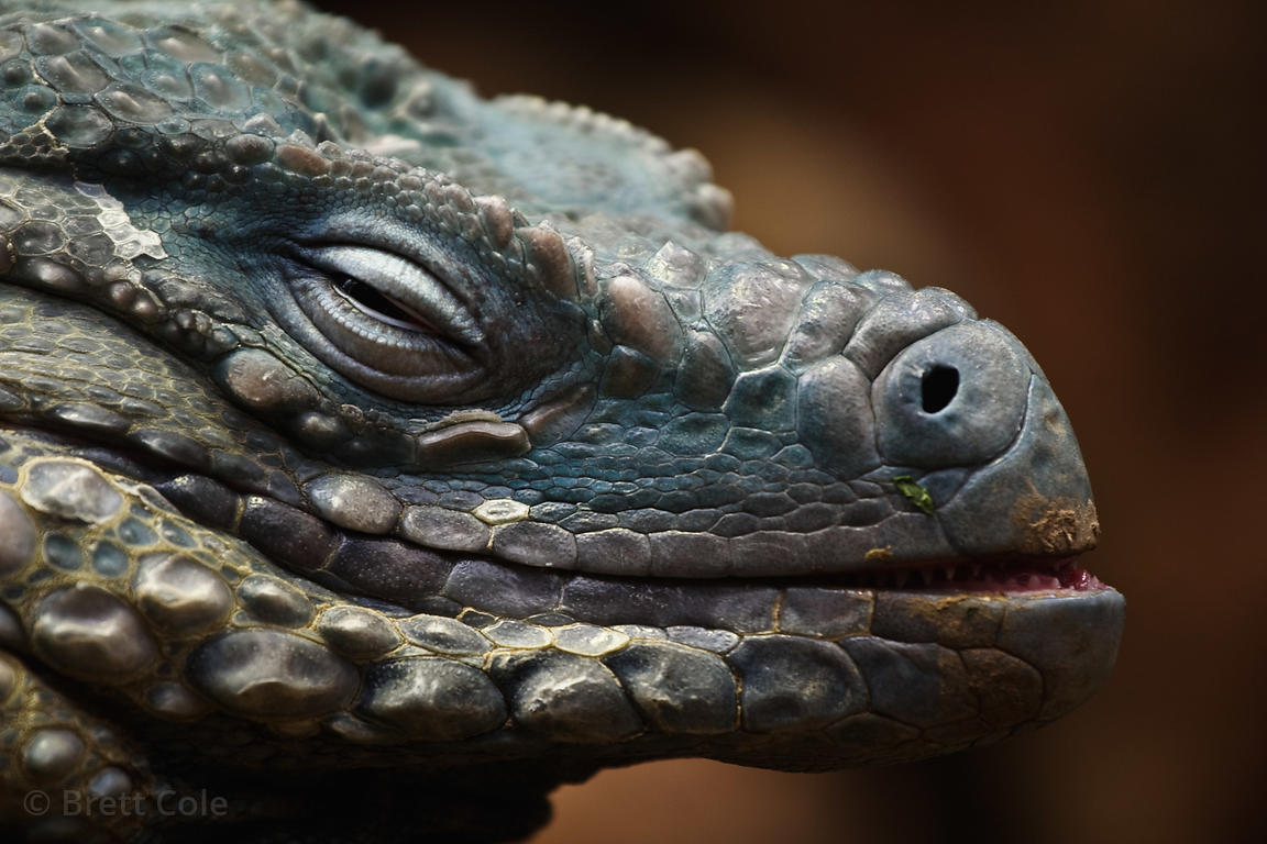 Grand Cayman or Blue Iguana (Cyclura lewisi), National Zoo, Washington, D.C.