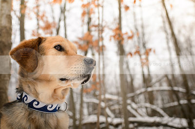headshot of tan and black senior dog in winter forest with leaves