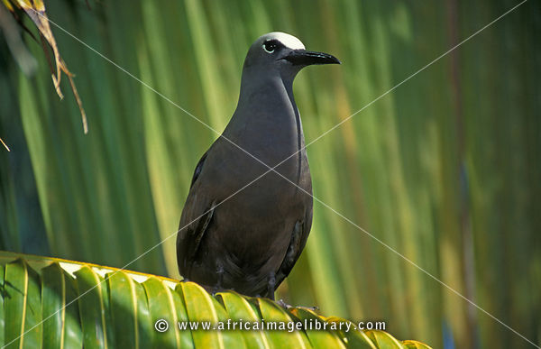 Common noddy, Anous stolidus, Ile aux Cocos, Island sanctuary for sea birds, Rodrigues