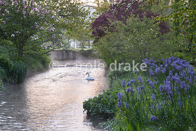 A swan swims on the River Avon fringed with blue camassias, on a frosty April morning at Heale House, Middle Woodford, Wiltshire