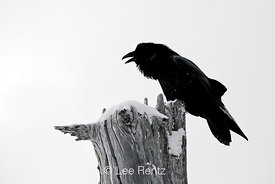 Common Raven (Corvus corax) calling from a dead tree on Hurricane Ridge, Olympic National Park, Olympic Peninsula, Washington...