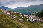 Shepherd gathering Swaledale sheep off Baugh Fell in the Howgills, Cumbria.