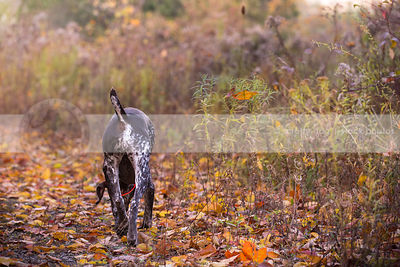 brown speckled dog butt and tail walking away on autumn leaves