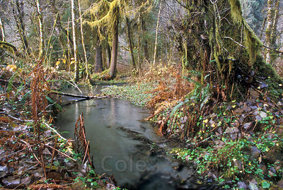 A lush, emerald salmon stream along the Hoh River, Olympic Rainforest, Washington