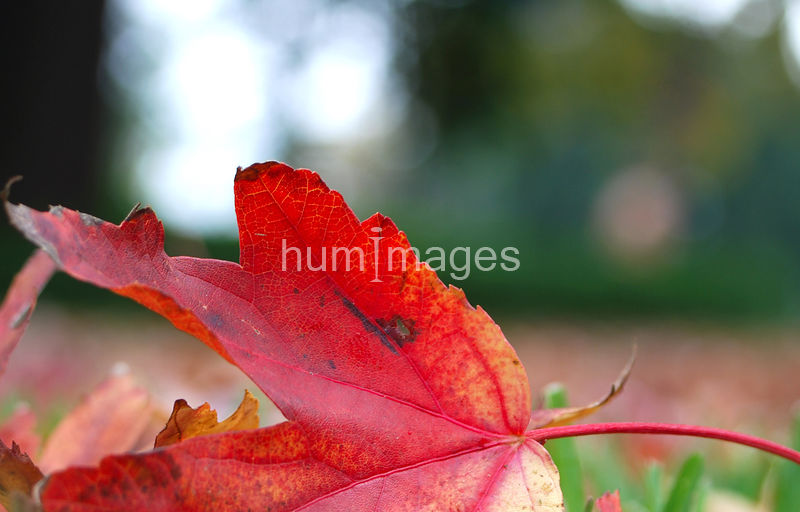 Close up of fallen red leaf in early autumn