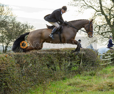 Hedge jumping ear Mr Wilson's convert - The Cottesmore Hunt at Braunston, 12-11-13.