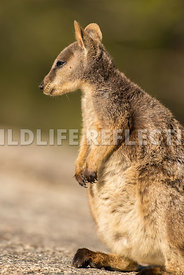 rock_wallaby_mareeba_profile_stand-2