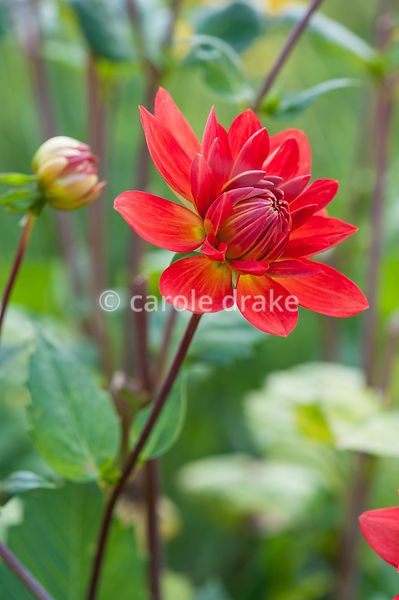 Scarlet dahlia. Helmsley Walled Garden, Helmsley, York, North Yorkshire, UK