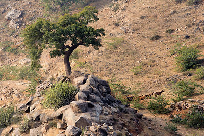 Tree on a mountaintop above the Bedhnath temple area, Rajasthan, India