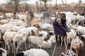 Karamojong boy with livestock in the village, northern Uganda