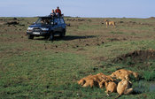 Tourists watching Lions drinking, panthera leo, Maasai Mara National Reserve, Kenya