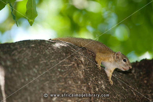 Tree squirrel (Paraxerus cepapi), Kruger National Park, South Africa