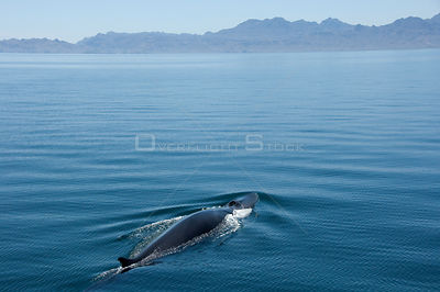 Fin whale {Baleanoptera physalus} mother and calf surfacing, Loreto Marine Reserve, Gulf of California, Mexico
