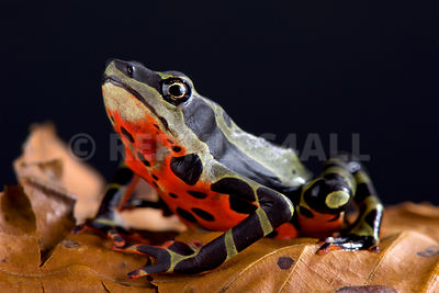 Limon harlequin toad (Atelopus sp Limon)