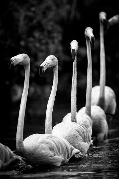 X-Bird-Flamingos_Laurent_Baheux