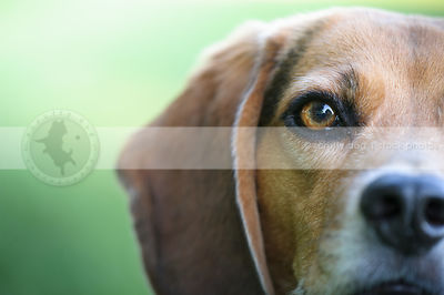 closeup of beagle dog eye with bokeh background