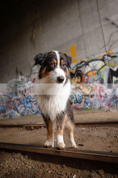 expressive tricolor dog perched on tracks in urban graffiti train tunnel