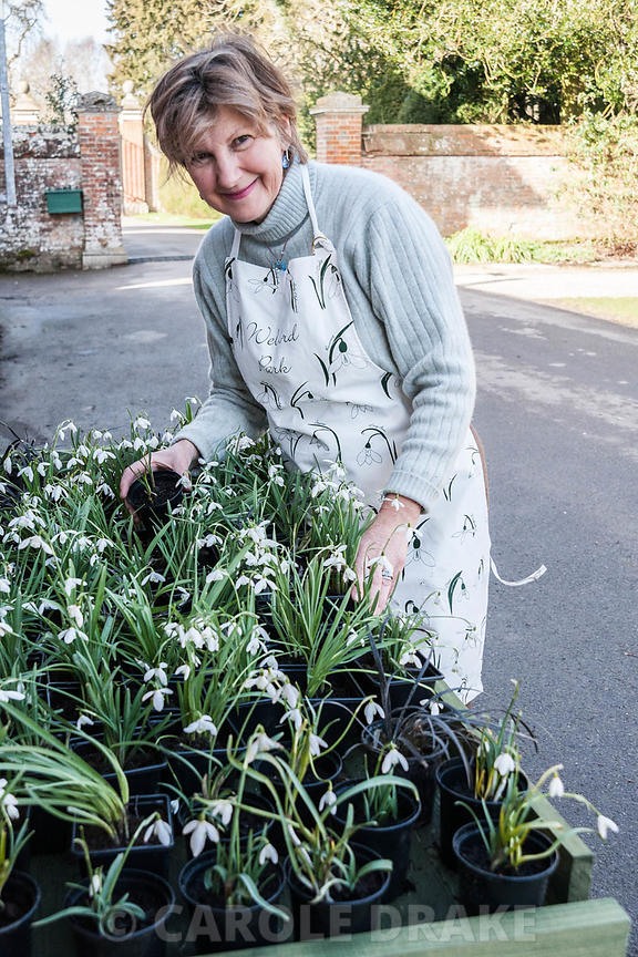 Deborah Puxley, owner, organising snowdrops for sale. Welford Park, Newbury, Berks, UK