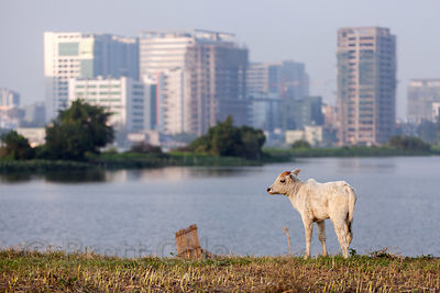 Cows graze on a strip of land in the East Kolkata wetlands, Kolkata, India. In the distance is Salt Lake City. Cows are actua...