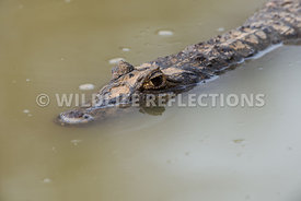 caiman_close_eye-3