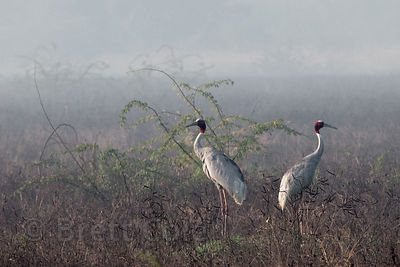 Sarus Cranes (Grus antigone), Keoladeo National Park, Bharatpur, India