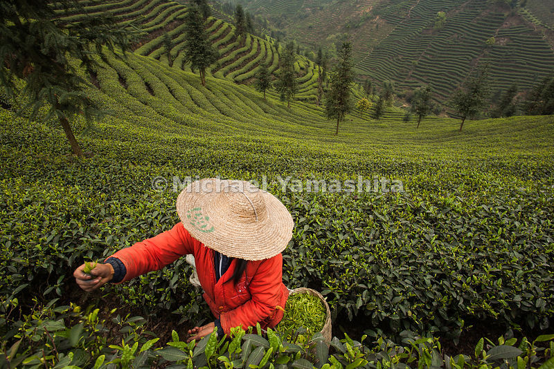 Pics of Pu Yong Fen and crew picking tea at Sichuan Agriculture U fields in Zhong Feng. Workers make 30 RMB/12 hour day