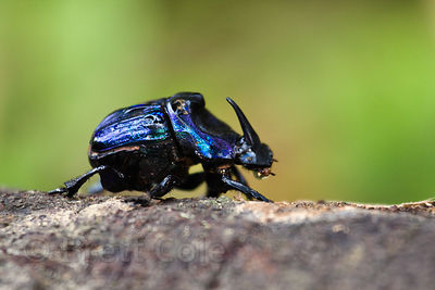 Metallic blue scarab beetle, Tambopata River, Peruvian Amazon