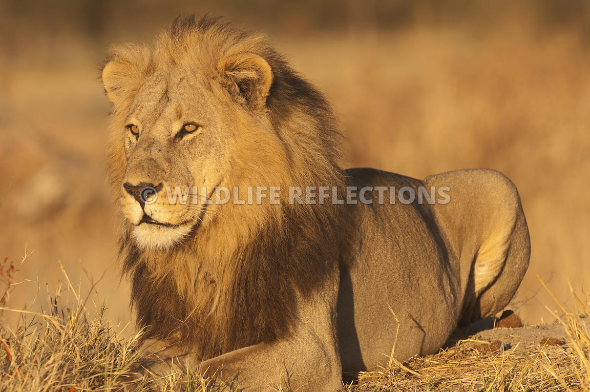 lion_male_resting_haunches_horizontal_3