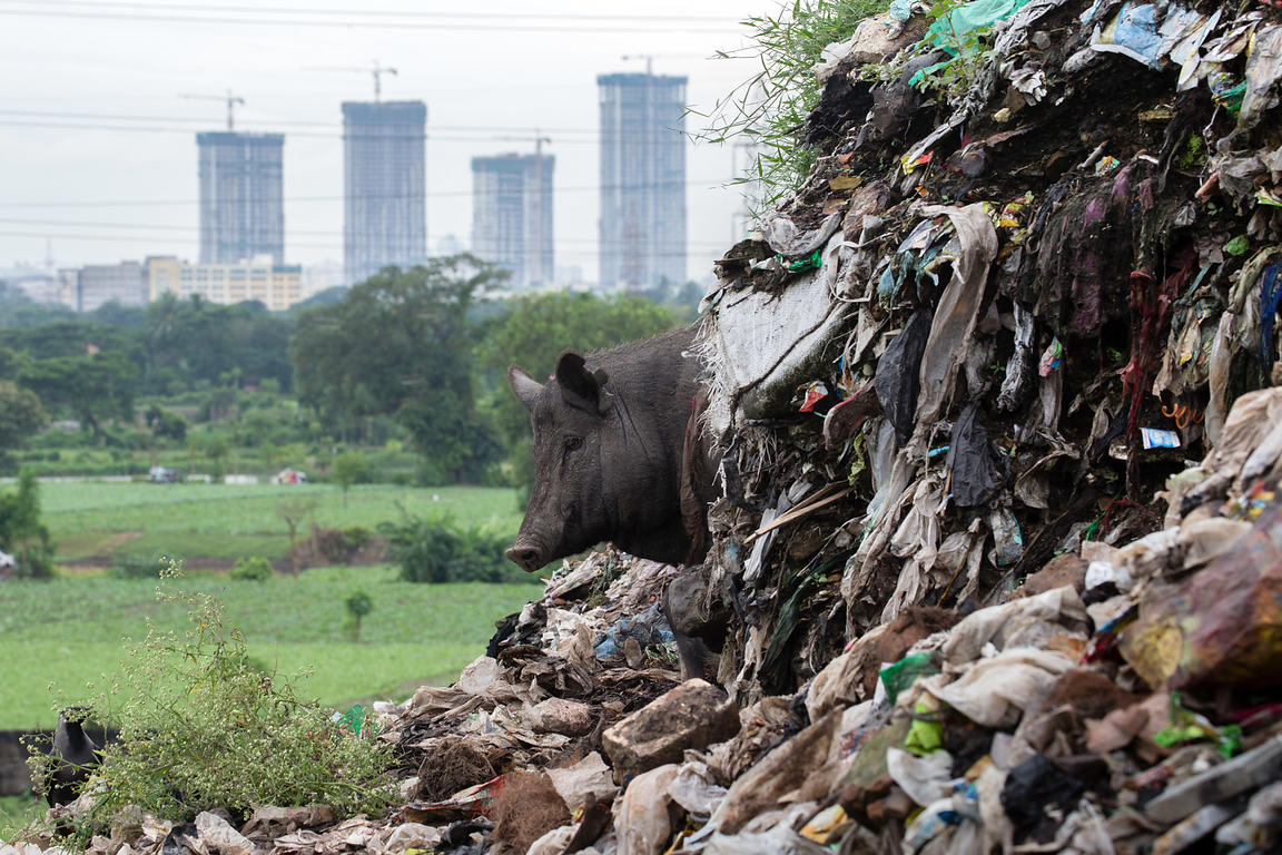 A pig at the Dhapa dumping ground, the main landfill for Kolkata's 13 million people, Dhapa, Kolkata, India. Dhapa is a large...