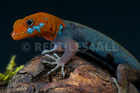 Gonatodes albogularis fuscus, Red-headed dwarf gecko,Cuba
