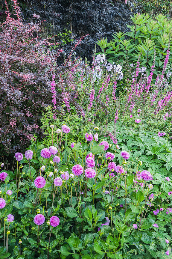 The Walled Garden planted with purples, pinks and blues including dahlias, Lythrum salicaria 'Lady Sackville', Berberis thunb...