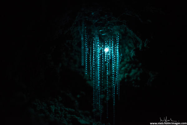 Glow worm closeup, Oparara - New Zealand