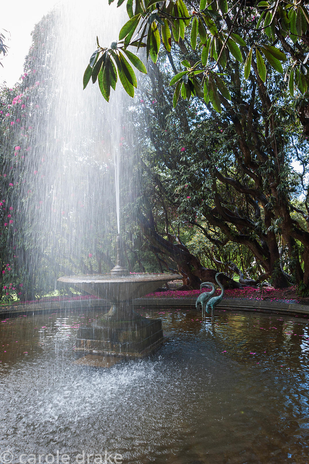 Circular pool at the base of the Neptune Cascade, with heron sculptures and fountain, surrounded by magenta flowering rhodode...