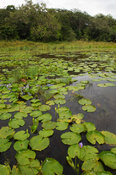 wetland with waterlilies, Arabuko Sokoke forest Reserve, Watamu, Kenya