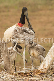 jabiru_stork_nest_close-11