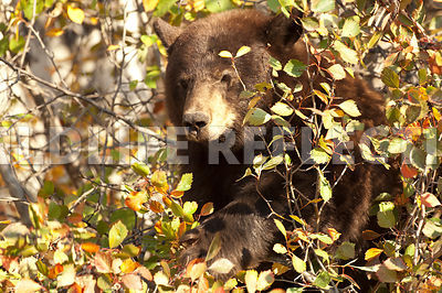 black_bear_in_hawthorne_2